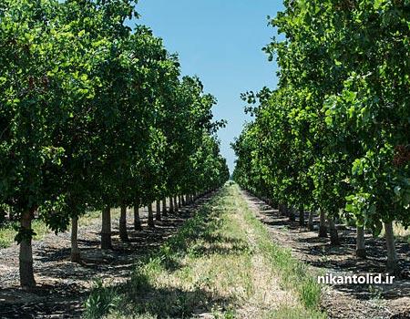سولفات آهن برای درختان پسته